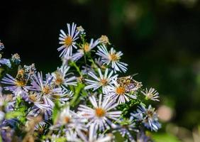 Bees on chamomile flowers photo