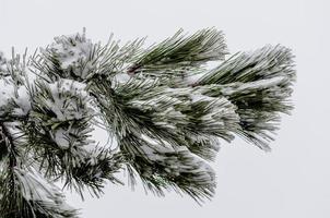 rama de pino en la nieve foto