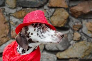 Dalmatian dog in a red hat and scarf photo