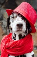 Dalmatian wearing a red hat and scarf photo