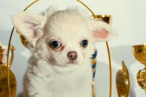 perrito chihuahua con adornos dorados