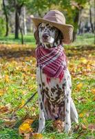 Dalmatian in a cowboy hat and scarf with autumn leaves photo