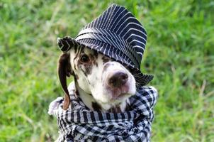 Dalmatian in a striped hat and a plaid scarf photo