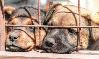 Dos cachorros detrás de una valla en un refugio. foto