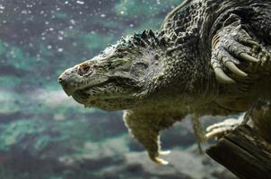 primer plano, de, un, tortuga caimán foto