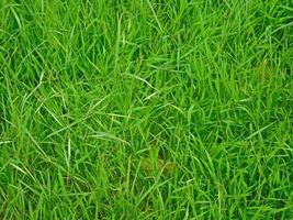 Patch of green grass for background or texture photo