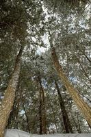 Evergreen pine trees in New England winter photo