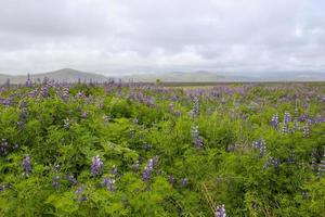 Wild lupines covering a field in Iceland photo