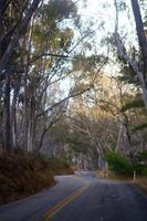Eucalyptus trees lining the road in California photo
