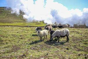 Sheep grazing in Iceland photo