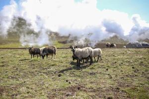 Icelandic sheep grazing photo