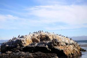 Shorebirds on a rock at Avila Beach, California photo