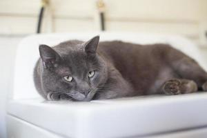 Russian blue cat lying down photo
