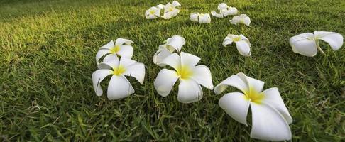Plumeria tropical spa flower in a garden village photo