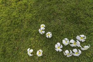 Plumeria tropical spa flower in a garden village