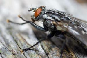 Macro cerca de una mosca común cyclorrhapha, una especie de mosca común que se encuentra en las casas foto