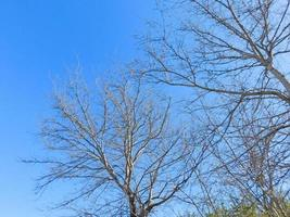 Bare trees against a clear blue sky photo
