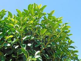 Hojas verdes de un arbusto o arbusto contra un cielo azul claro foto