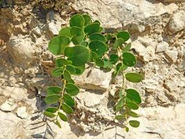 Green plant in dry rocky soil photo
