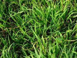 Green grass in a field photo