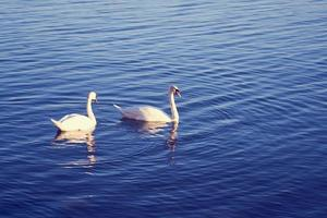 A pair of swans on water photo