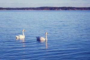 cisnes en el agua en susnet foto