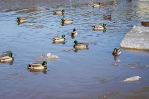 patos en el río foto