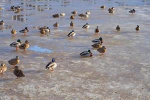 patos en el derretimiento del hielo en el río de primavera foto