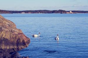cisnes en el agua foto