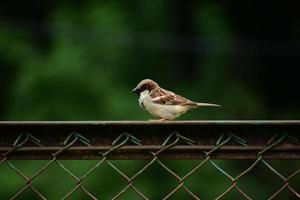 Sparrow resting on a fence photo