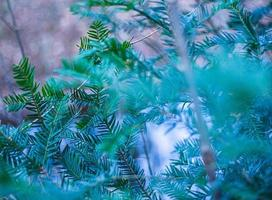 Green pine leaves abstract photo
