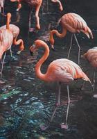 Group of flamingos photo