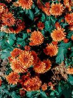 Orange chrysanthemum flowers