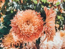 hermosos crisantemos naranjas foto