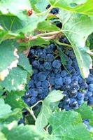 racimo de uvas en una vid foto