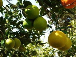 Orange, yellow, and green oranges on a branch