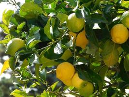 Green and yellow lemons on a branch