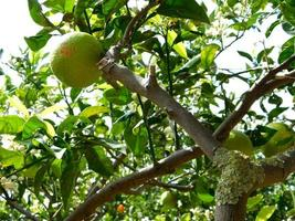Green oranges on a branch