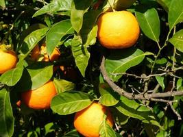 Oranges on a branch