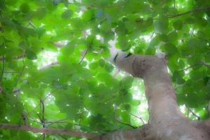 Bodhi tree in the morning