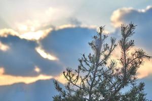 Pine tree at sunset photo