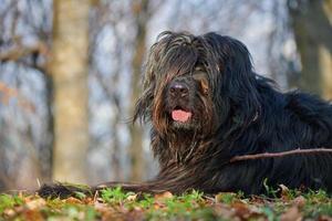 perro pastor en el bosque foto