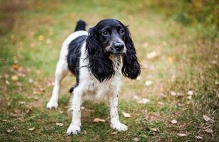 Spaniel ruso retrato de un perro foto