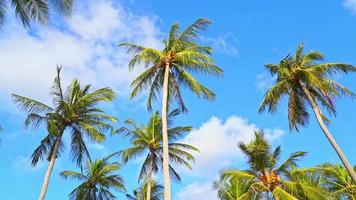 Coconut Palm Tree with White Cloud and Blue Sky
