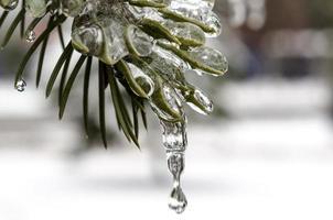 hielo en una rama de abeto foto