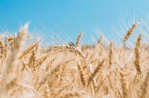 Field of wheat photo