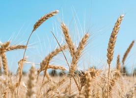 Wheat against a blue sky photo