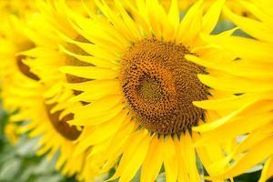 Close-up of sunflowers photo