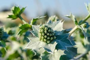 Flowers and leaves of eryngium