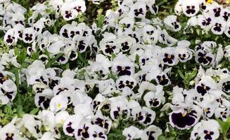 White and purple pansies photo